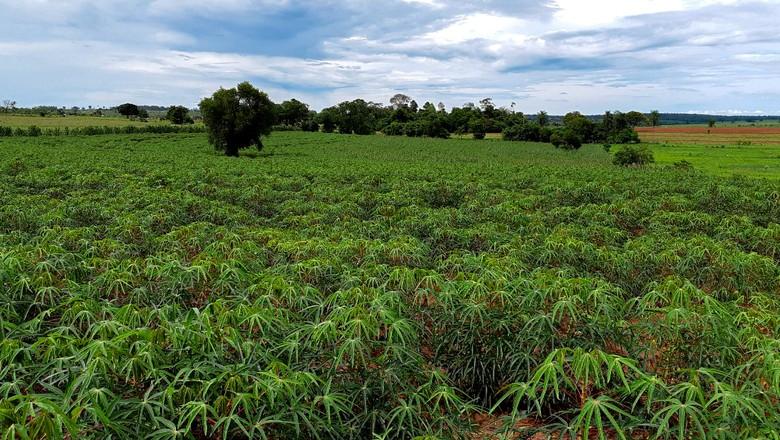 """Considerada uma cultura """"nômade"""", mandioca apresenta melhor desempenho quando plantada em pasto degradado desde que a área não tenha recebido lavouras do tubérculo nos últimos dez anos (Foto: Divulgação)"""