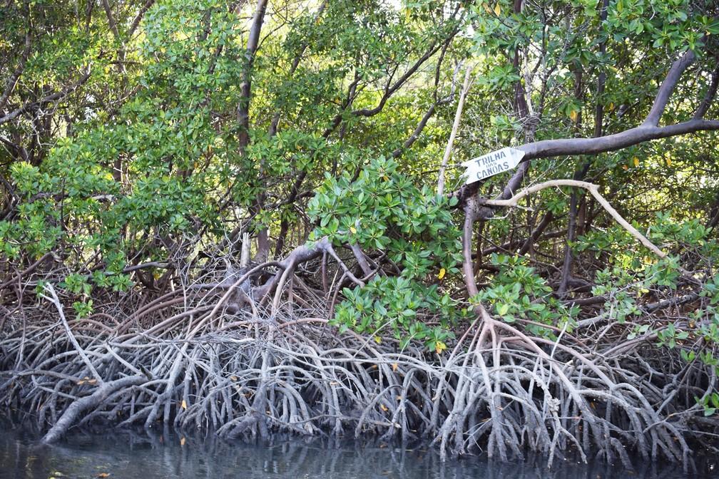 Raízes suspensas das plantas tornam as trilhas ainda mais estreitas em meio ao mangue – Guamaré – RN – Turismo – Novembro de 2017 (Foto: Maxwell Almeida)