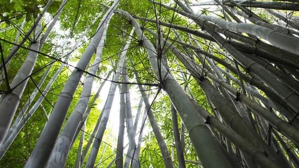 Resultado de imagem para imagem bambu