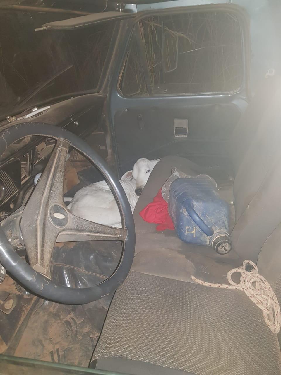 Homens são presos por furto de gado após serem flagrados com animal amarrado na cabine de caminhonete - Notícias - Plantão Diário