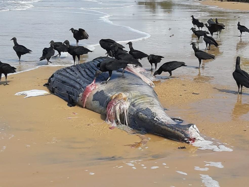 Filhote de baleia jubarte é encontrado morto em Porto Seguro-BA 3
