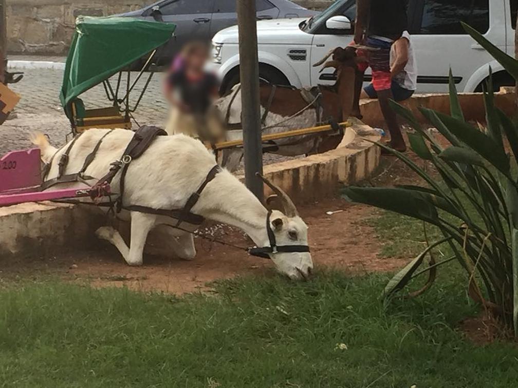 -  Foto de bode ajoelhado para comer grama causou polêmica das redes sociais em São Lourenço  MG   Foto: Fernanda Brito/Reprodução/Facebook