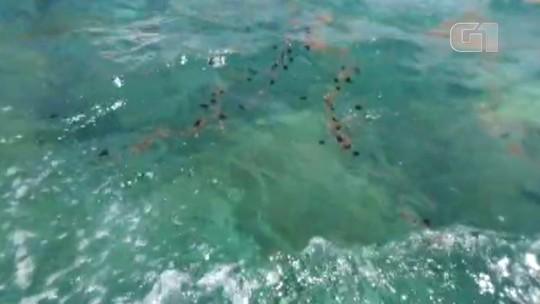 Equipes no Parque Nacional dos Abrolhos monitoram e retiram óleo do mar antes de contaminação das praias