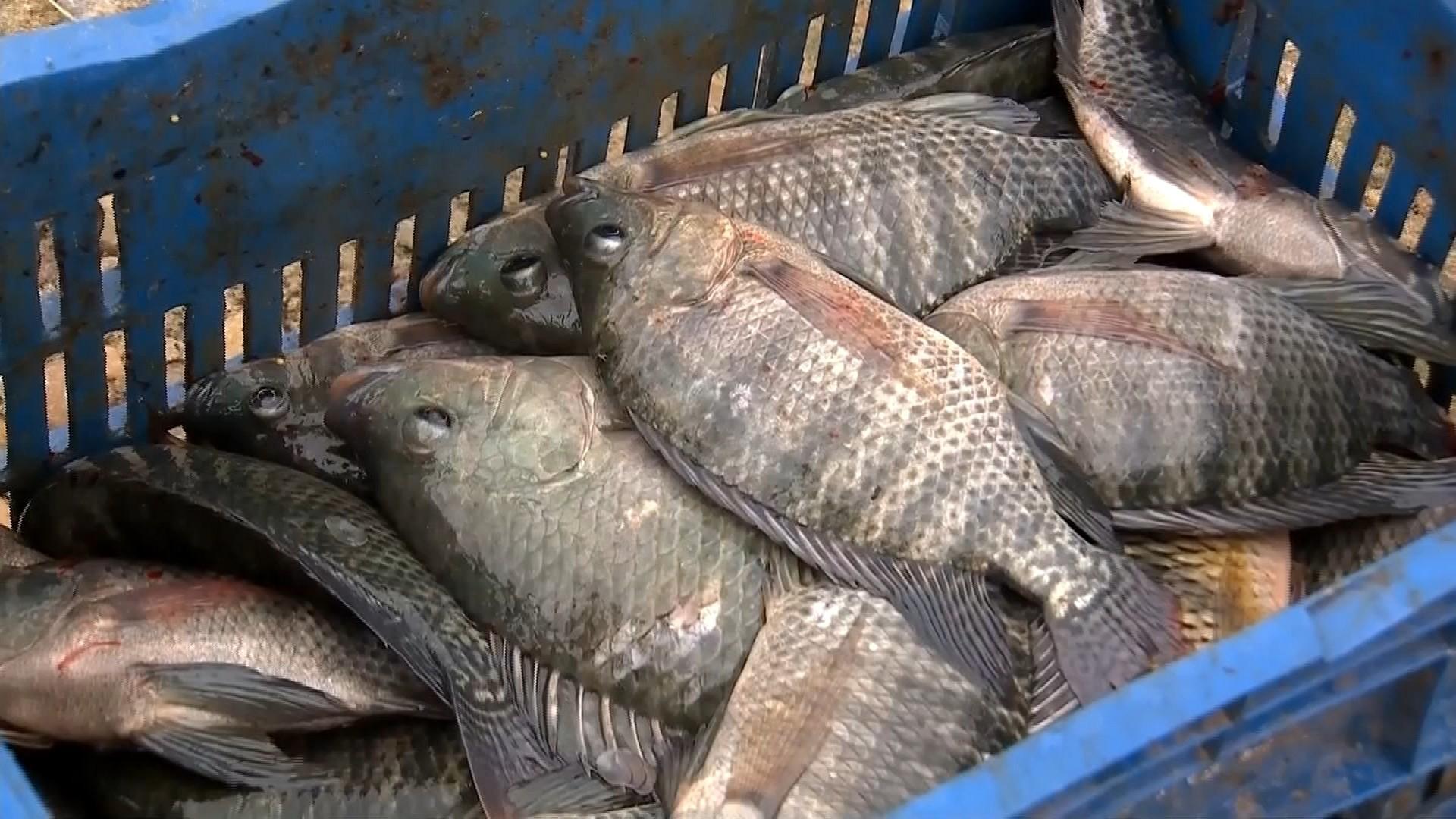Pesca predatória e poluição são algumas das ameaças aos peixes do Tietê