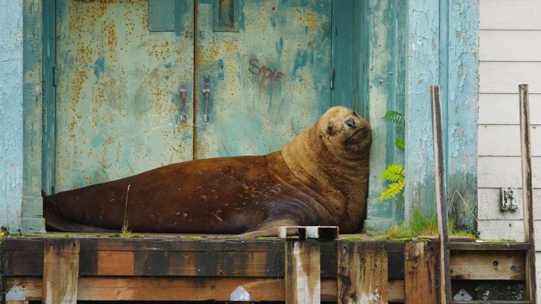 Leão-marinho é de espécie considerada ameaçada pelo governo dos EUA (Foto: Roberta White/Sitka Volunteer Fire Department)