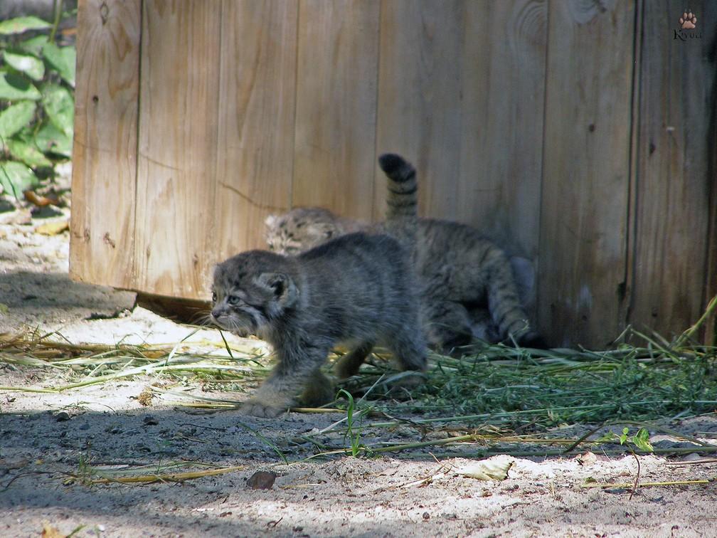 Zoológico da Sibéria tem novos moradores: 16 gatos-de-pallas, também conhecido como manul — Foto: Reprodução/Facebook/Parque Zoológico de Novosibirsk