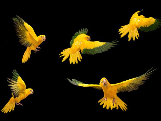 Ameaçada de extinção, ararajuba é exclusiva do Brasil e tem as cores da bandeira nacional (Foto: Tony Generico)