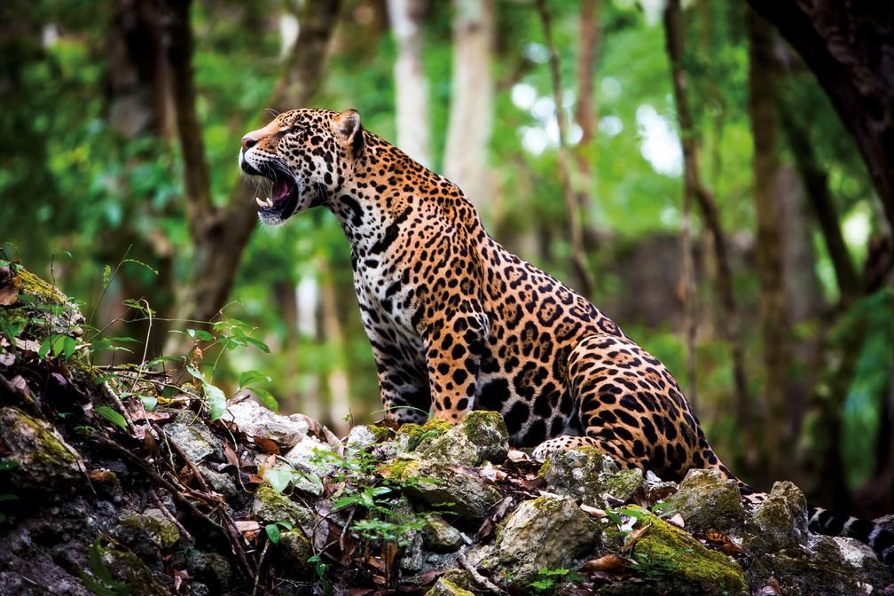 Onça-pintada (Panthera Onca) em foto tirada em 2012, no México. No Brasil, a espécie é considerada vulnerável, mas o status de avaliação muda conforme o bioma em que ela vive — Foto:  WWF / AFP