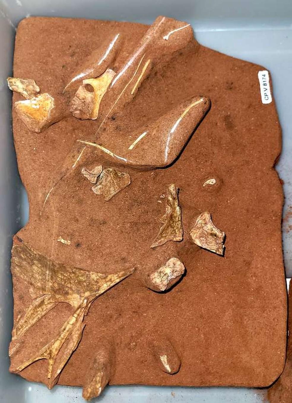 Holótipo do pterossauro descoberto do sul do País. — Foto: Divulgação/Cenpaleo