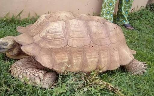 Aos 344 anos, tartaruga morre em palácio na Nigéria