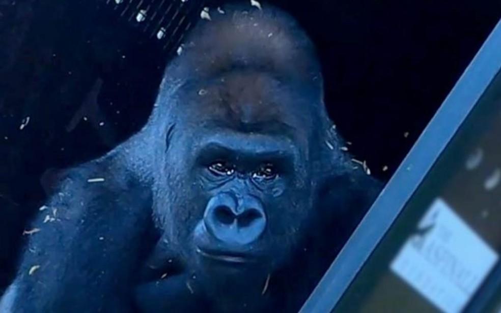 Gorila criado em zoológico conhece a vida na natureza após 13 anos — Foto: Reprodução/BBC