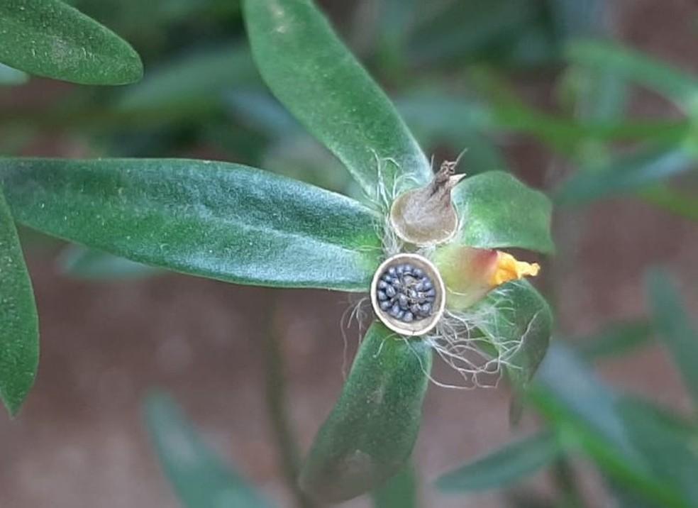 """Subespécie se aproxima das plantas conhecidas como """"onze-horas"""" no Brasil — Foto: Adapar/Divulgação"""