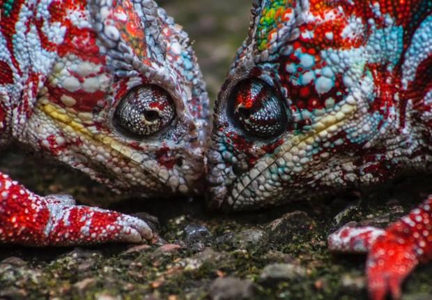 """Descobertas científicas mais recentes indicam que os camaleões têm, na verdade, uma espécie de """"espelho seletivo"""", feito de cristais. (Foto: Divulgação BBC)"""