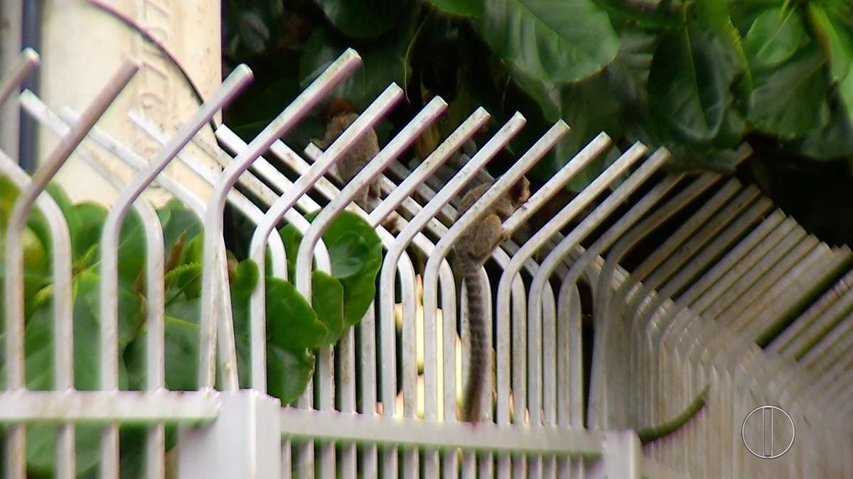 Araruama, RJ, intensifica ações contra a febre amarela após morte de macaco pela doença