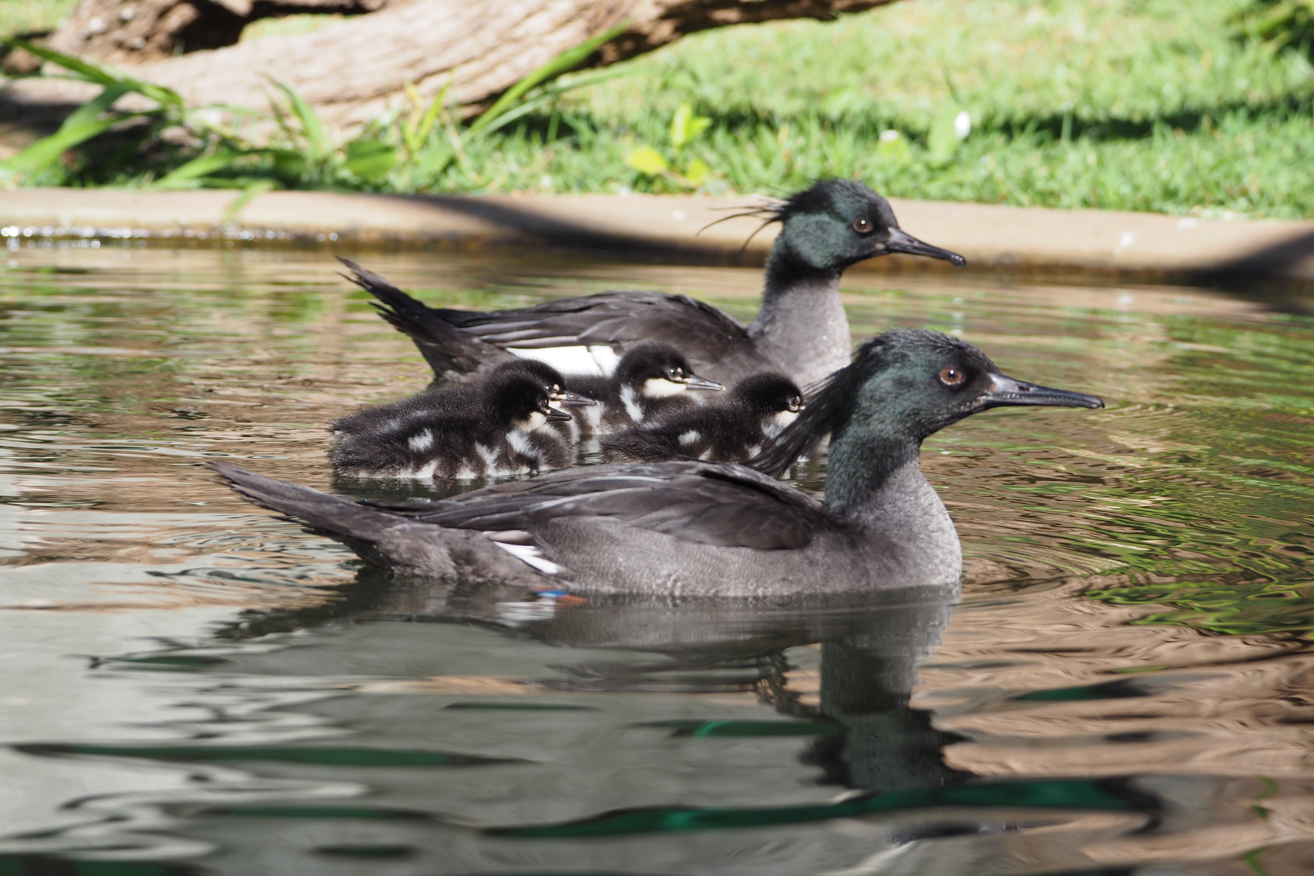 Pato ameaçado de extinção se reproduz de forma natural pela primeira vez em cativeiro