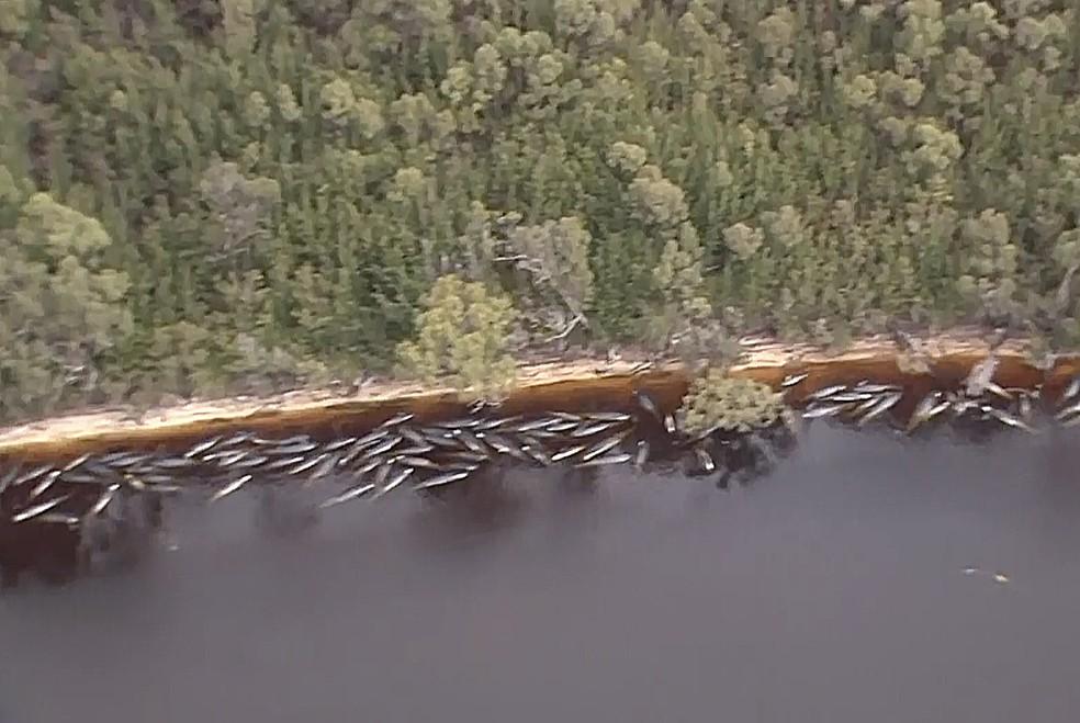 Imagem aérea capturada de um vídeo mostra várias baleias encalhadas ao longo da costa da cidade de Strahan, na Tasmania, nesta quarta-feira (23) — Foto: Australian Broadcast Corporation via AP