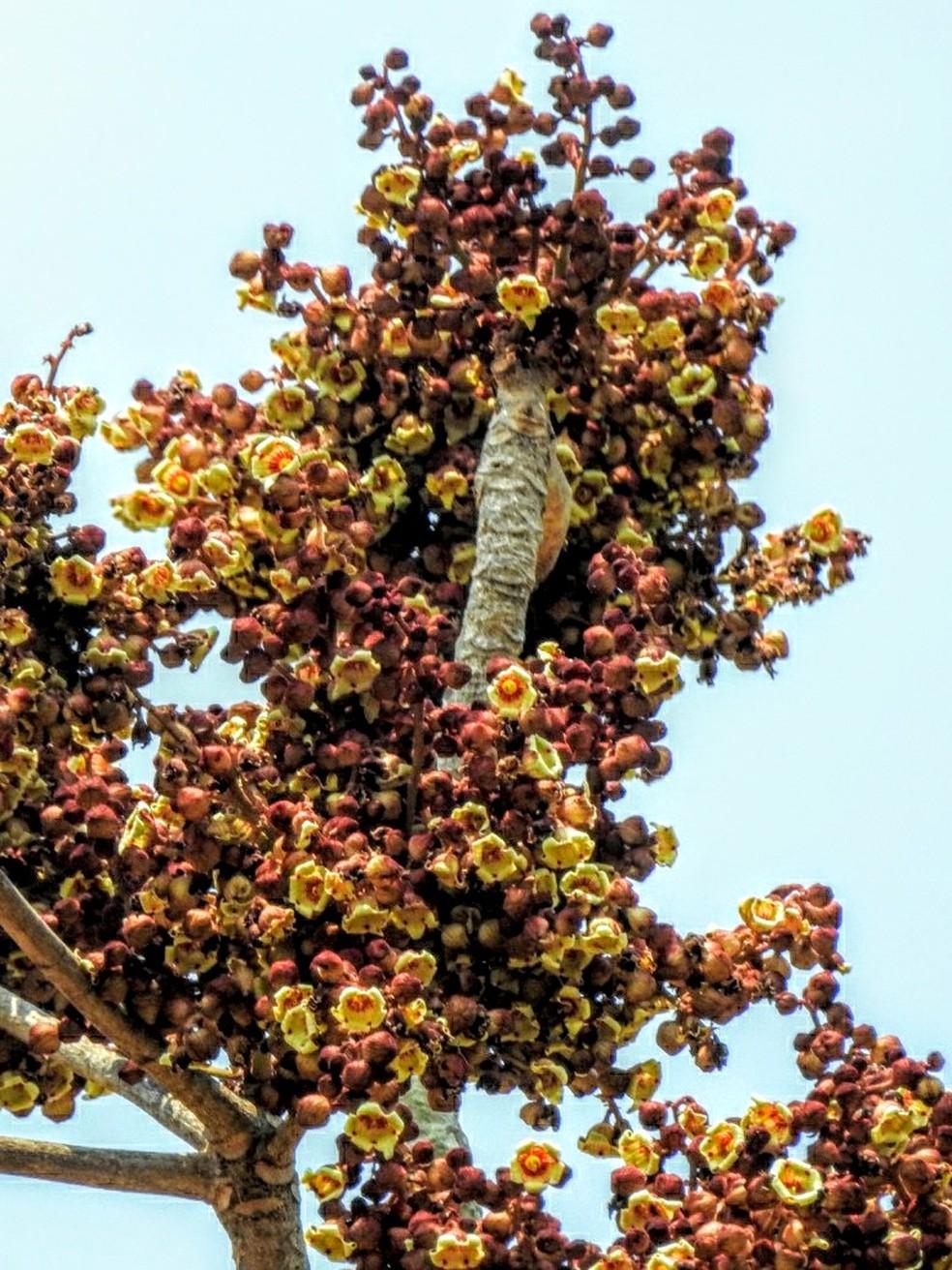 Sterculia Chicomendesii ocorre em várias partes do Acre, inclusive na Reserva Extrativista Chico Mendes — Foto: Marcos Silveira/Arquivo pessoal