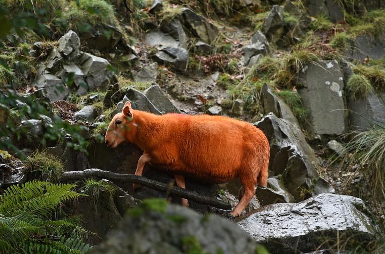 Rebanho fica pastando em área montanhosa em Troutbeck, no norte da Inglaterra (Foto: Oli Scarff/AFP)