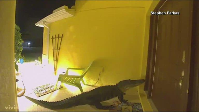 Jacaré é filmado 'espiando' casa na Flórida; veja vídeo