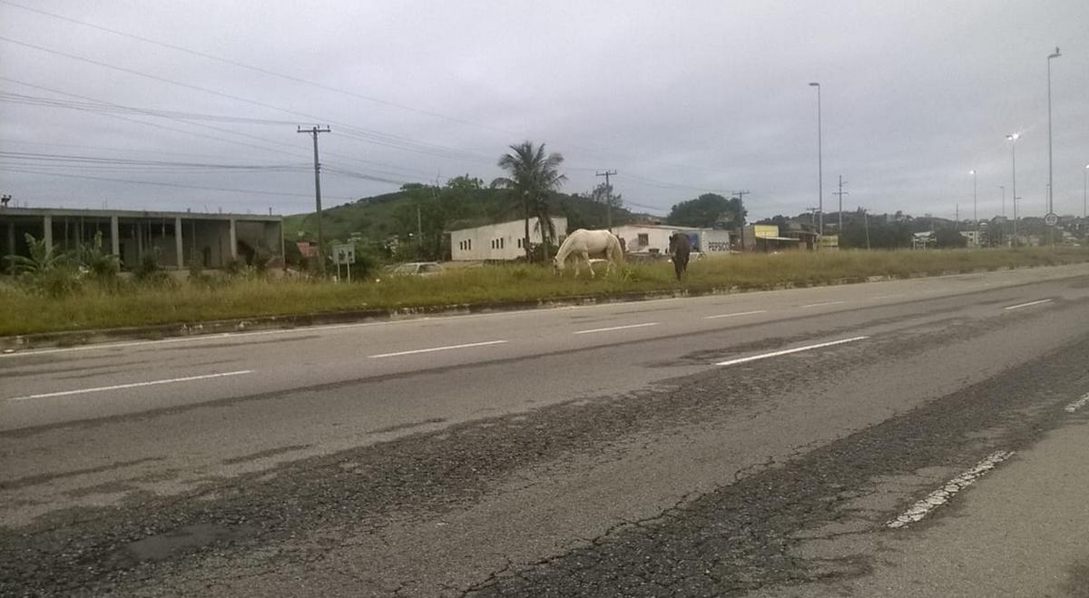 Cavalos circulam soltos pelas margens da RJ-140, em São Pedro da Aldeia