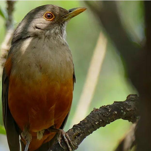 Sabiá-laranjeira é um exemplo de ave silvestre que se adaptou muito bem ao meio urbano no Brasil (Foto: Instituto Passarinhar/ Divulgação via BBC)