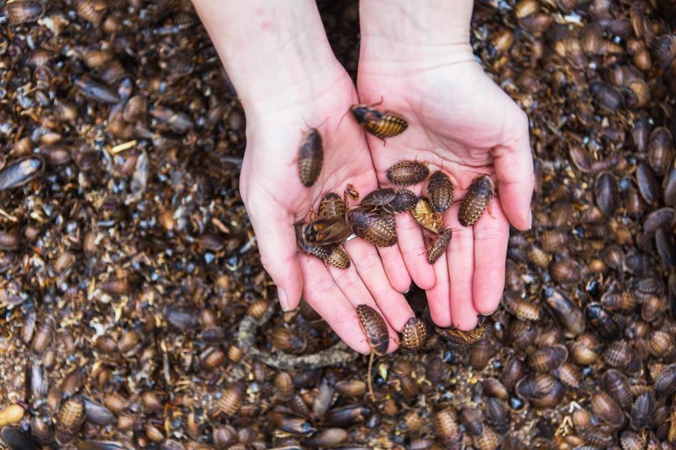 criacao-baratas Fazendas de baratas na China, um negócio tão repulsivo como lucrativo Mundo