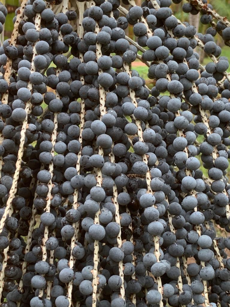 agricultura-acai-sp (Foto: Arquivo Pessoal)