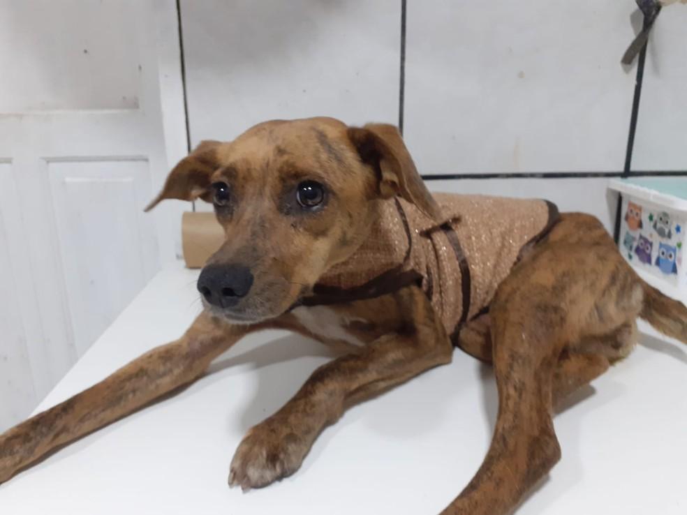 Cachorra Terrinha após resgate — Foto: ONG Protetores dos Animais de Bombinhas/Divulgação