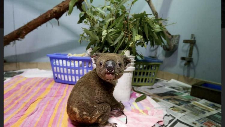 coala-incendios-autralia (Foto: Nathan Edwards / Getty Images)