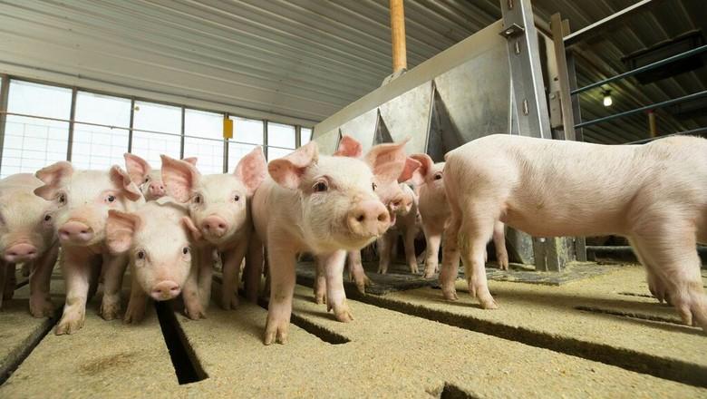 Suínos (Foto: National Pork)