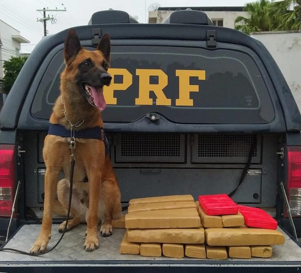 Com auxilio de cão farejador, PRF apreende 20 quilos de maconha em ônibus na Fernão Dias  — Foto: Divulgação/PRF