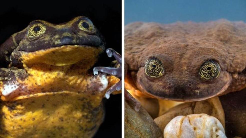 Romeu (à esquerda) e Julieta (à direita), sua futura companheira, têm personalidades bem diferentes — Foto: Robin Moore, Global Wildlife Conservation (via BBC)