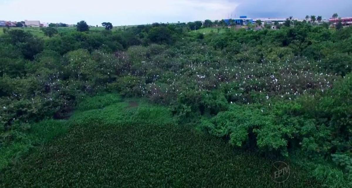 Ninhal de garças é filmado por fotógrafo em Indaiatuba (SP)