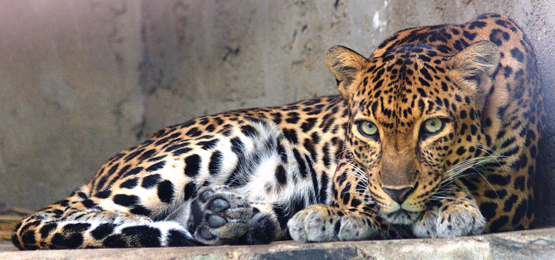 Leopardo-da-indochina no zoológico de Saigon, no Vietnã.   (Foto: Creative Commons / Tomáš Najer)