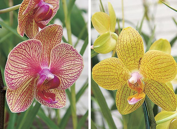 Phalaenopsis híbrida estriada e Phalaenopsis híbrida estriada (Foto: Evelyn Müller)