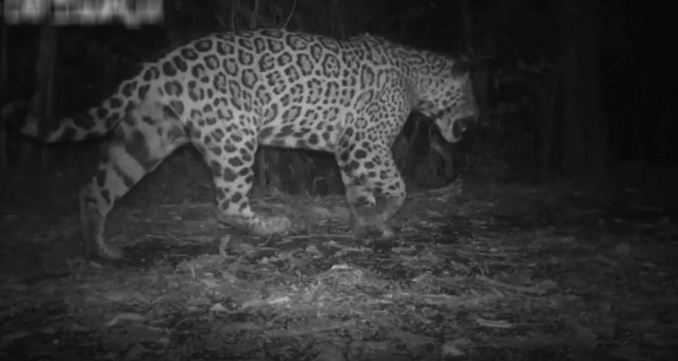 Projeto realiza votação para escolha do nome do animal — Foto: Divulgação/Onças do Iguaçu