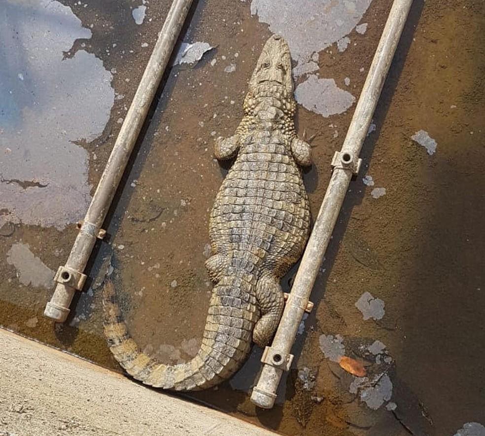 O réptil estava em canal com uma profundidade de 2 metros. — Foto: Corpo de Bombeiros