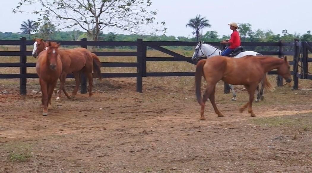 Combate a doença que atingiu 243 equinos em quatro anos no Amapá é intensificado