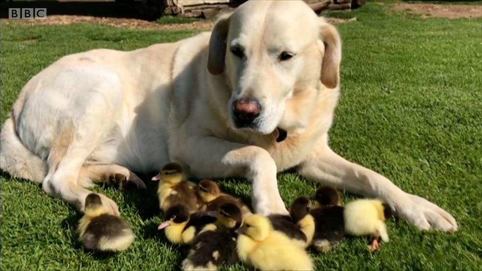 Patinhos foram adotados por um cachorro na Inglaterra (Foto: BBC)