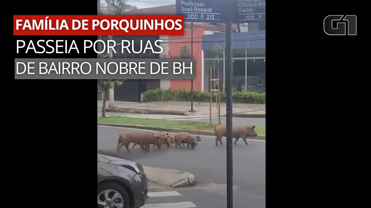 VÍDEO: Família de porquinhos passeia por ruas de bairro nobre de BH