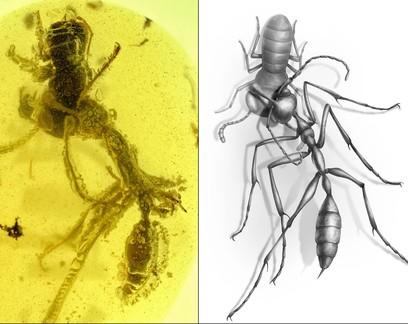 Âmbar preserva momento em que formiga devorou presa há 99 milhões de anos