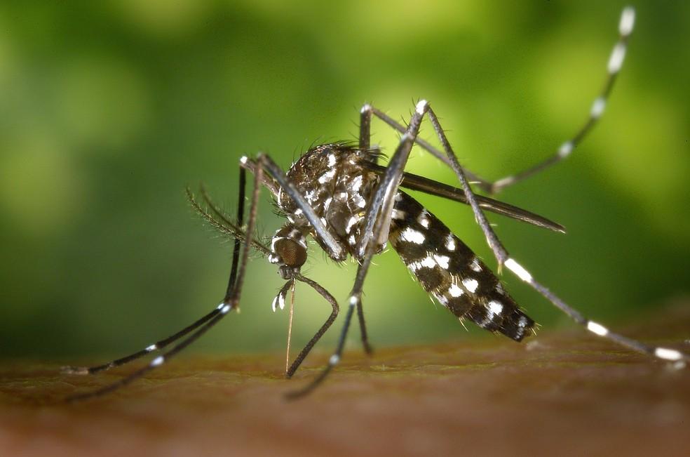 Aedes aegypti é o transmissor da febre amarela, dengue, zika e chikungunya no Brasil (Foto: Pixabay/Divulgação)