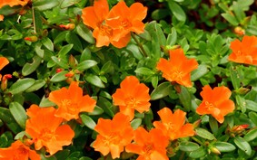 Beldroega: planta alimentícia de grande valor medicinal