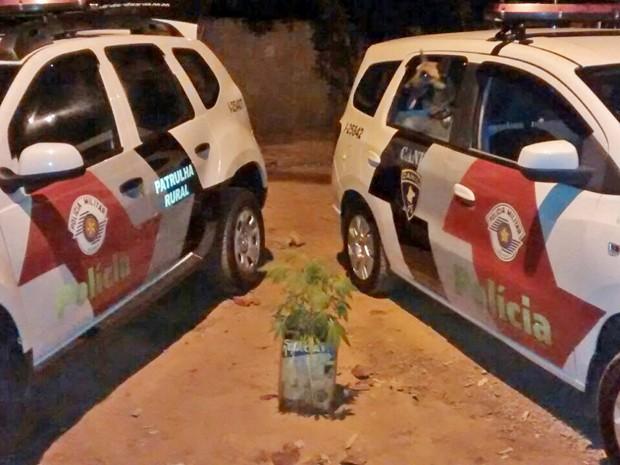 Pé de maconha estava no quintal da casa de um homem de 34 anos, morador de Paulicéia (Foto: Polícia Militar/Cedida)
