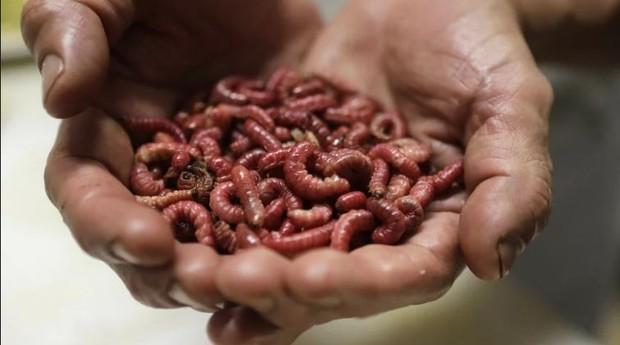 Larvas usadas para a produção das farinhas para consumo humano (Foto: Divulgação)
