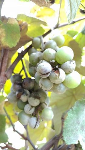 gr responde-uva-fungo (Foto: Clara Salviano)