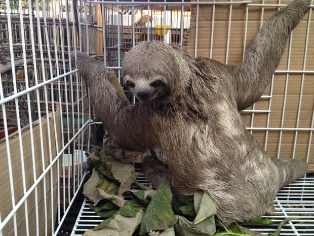 Preguiça foi resgatada em residência próxima à Mata do Buraquinho (Fot Walter Paparazzo/G1)