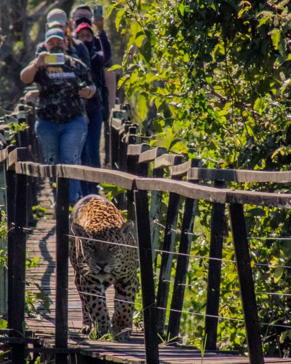 Turistas fotografam onça, em passarela de madeira, no Pantanal.  Foto: Allan Glelydson/Foto