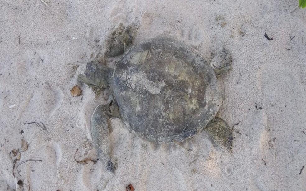 Uma das tartarugas encontradas morta em praia de Ilhéus nesta segunda-feira (18) — Foto: Divulgação/Projeto Amar