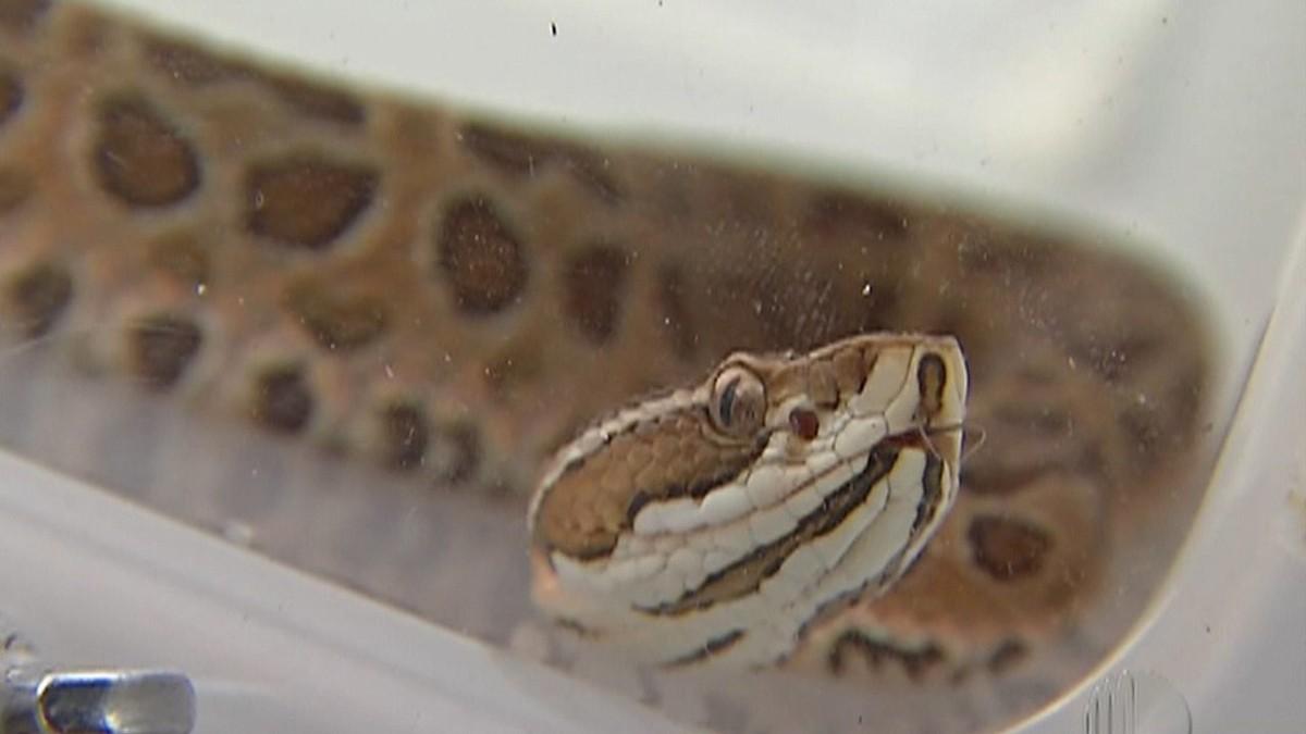 Polícia de Mogi das Cruzes prende suspeito de criar cobras ilegalmente e usá-las para atacar animais em vídeos para internet – G1